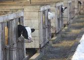Cow farm agriculture bovine milk — Stock Photo