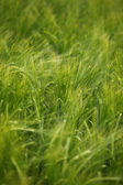 Wheat field agriculture nature meadow growing food — Stock Photo