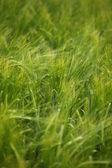пшеница поле сельского хозяйства природы луг выращивания продуктов питания — Стоковое фото