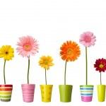 Flower nature garden botany daisy bloom pot — Stock Photo