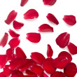 Stock Photo: Petals rose flower nature love
