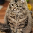 Stock Photo: Long Haired Tabby Cat