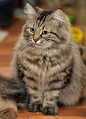 Long Haired Tabby Cat — Stock Photo