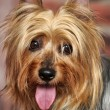 Silky Terrier - Stock Photo