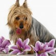 Stock Photo: Silky Terrier