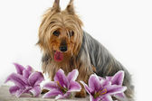 Silky Terrier — Stock Photo