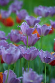 Purple and red tulips — Stock Photo