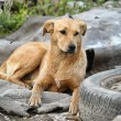Stock Photo: Stray dog