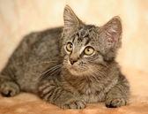 Gato atigrado — Foto de Stock