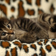Siberian kitten — Stock Photo