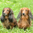 Two dachshunds - Stock Photo
