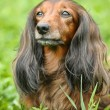 Portrait of Red Long-Haired Dachshund on the Grass — Stock Photo