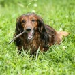 Stock Photo: Portrait of Red Long-Haired Dachshund on the Grass