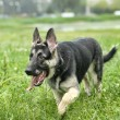 Beautiful German Shepherd Dog outdoors - Stock Photo