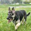 Beautiful German Shepherd Dog outdoors — Stock Photo #12138292