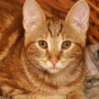 Ginger tabby cat — Stock Photo