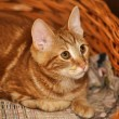 Ginger tabby cat — Stock Photo #12138401