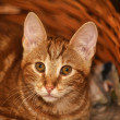 Ginger tabby cat — Stock Photo #12138412