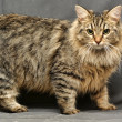Fluffy Sibericat — Stock Photo #12386067