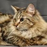Fluffy Siberian cat — Stock Photo #12386084