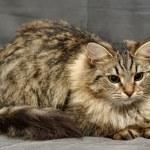 Fluffy Siberian cat — Stock Photo #12386099