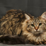 Fluffy Siberian cat — Stock Photo #12386105