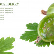 Fresh gooseberries on a white background (with sample text) — Stock Photo