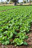Fresh Chinese cabbage — Stock Photo