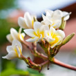 Frangipani Spa Plumeria Flowers — Stock Photo #12157519