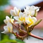 Frangipani Spa Plumeria Flowers — Stock Photo