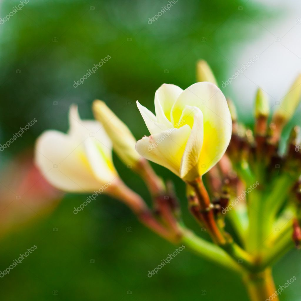 Branch of tropical flowers frangipani (plumeria) for Spa & aromatherapy concept — Stock Photo #12157440