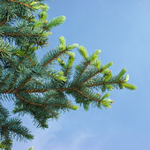 Fir-tree pads against the dark blue sky. — Stock Photo