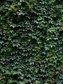 Pared cubierta de hoja — Foto de Stock