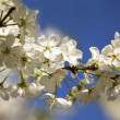 Spring blooming white cherry on the sky background — Stock Photo
