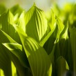 Green leaves in spring  sunny morning — Foto Stock
