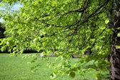 Zelený strom v parku — Stock fotografie