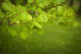 Hojas verdes en primavera — Foto de Stock