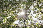 Apple tree blossom — Stock Photo