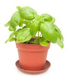 Potted Basil — Stock Photo