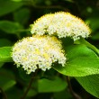 Blossoming bush — Stock Photo