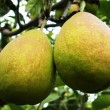 Fresh pear fruits on the branch — Stock Photo