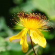 Wild yellow flower — Stock Photo