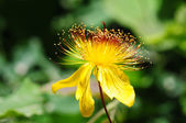 Vahşi sarı çiçek — Stok fotoğraf