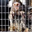 Sad Captive Marmoset — Stock Photo