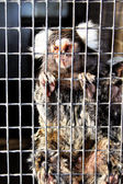Sad Captive Marmoset — Stock Photo