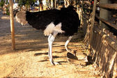 Ostrich Eating with Bent Neck — Stock Photo