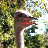 Struts ansikte — Stockfoto