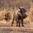 Stock Photo: Alert Warthogs Walking Through Bushveld Grass
