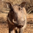 Stock Photo: Warthog Male Close-up