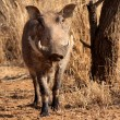Stock Photo: Large Alert Warthog Male
